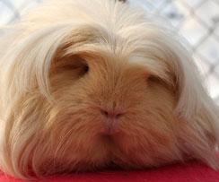 de ce porcii guineei își pierd greutatea)